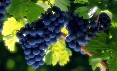 полезные_свойства_винограда_poleznye_svoystva_vinograda